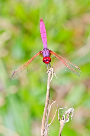 damselfly: Close-up dragonfly on natural background, Thailand  Stock Photo