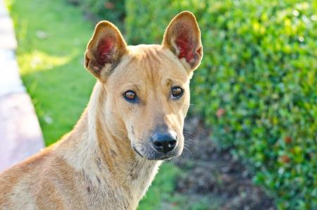 Head shot of Thai dog, Thailand. photo