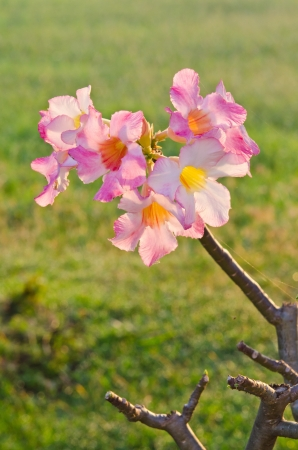 Impala Lily Adenium, Desert Rose or pink flower in Thailand  photo