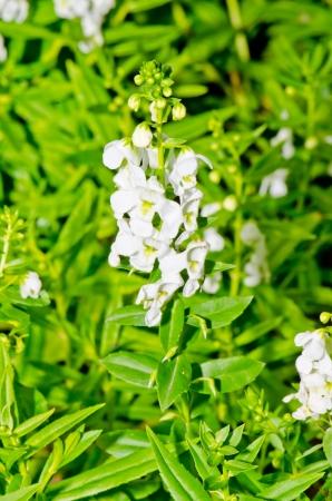 White flower on green background, Thailand. photo