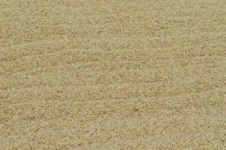 Unhusked rice on yard, Thailand. photo