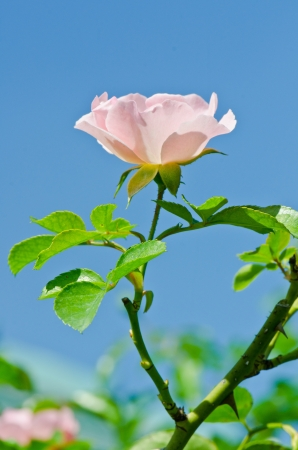 Pink rose on blue sky, Thailand. photo