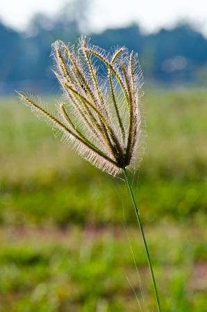 flower of grass in the nature, Thailand. photo