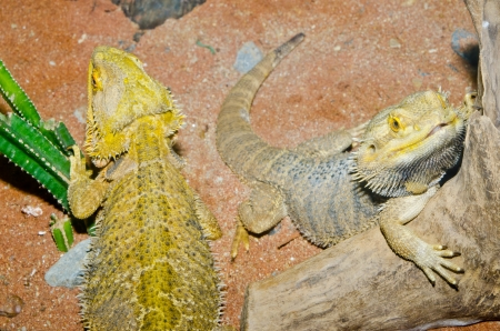 Close up of Bearded Dragons, Thailand. photo