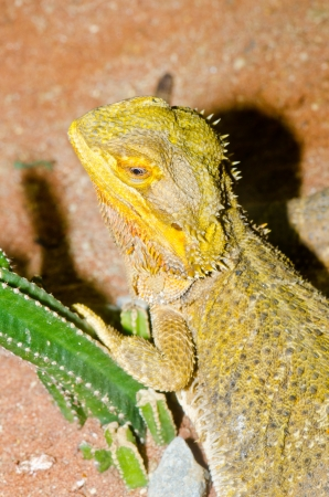 Close up of Bearded Dragons, Thailand. Stock Photo - 16632553