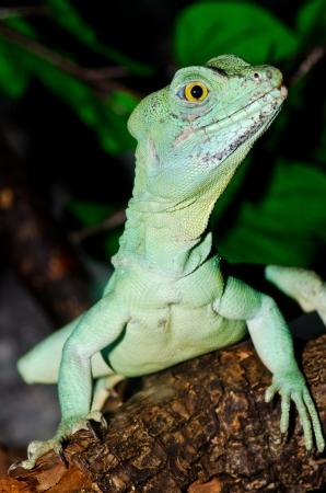 Close up of Green basilisk, Thailand. photo