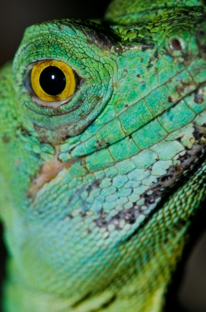 Close up of Green basilisk, Thailand. photo