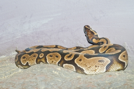 royal python: Close up of Ball Python or Royal Python, Thailand. Stock Photo