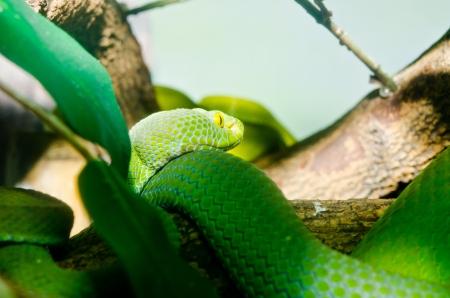 Close up of Big-eyed Pit Viper snake, Thailand. photo