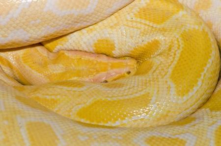 Close up of Golden Thai Python, Thailand. photo