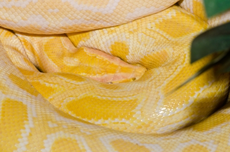 Close up of Golden Thai Python, Thailand. photo