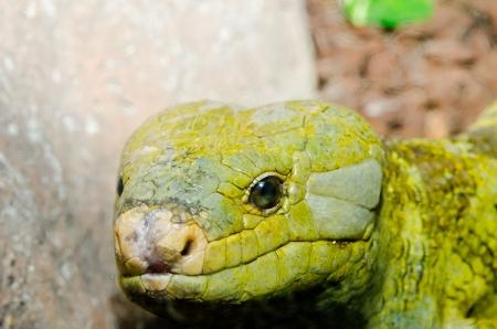 Close up of Monkey-Tailed skink, Thailand. Stock Photo