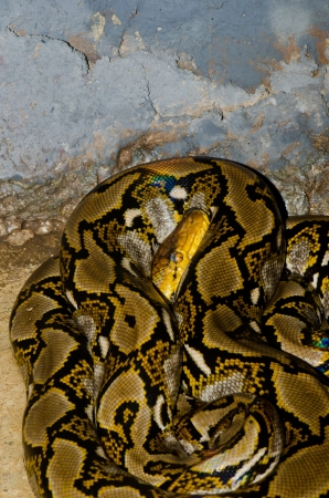 Close up of Reticulated Python snake, Thailand. photo