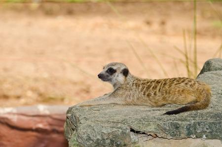 mercat: A meerkat on rock, Thailand. Stock Photo