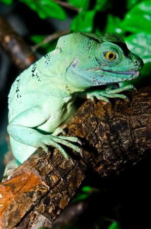 Close up of Green basilisk, Thailand. Stock Photo - 16748551