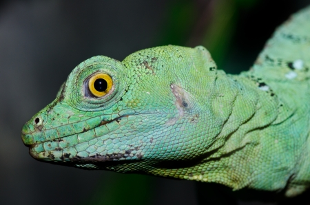 Head shot of Green basilisk, Thailand. photo