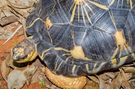 radiated: Portrait of Radiated Tortoise, Thailand. Stock Photo