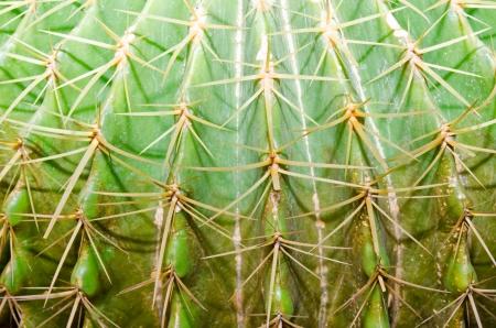 Macro of cactus texture, Thailand. Stock Photo - 16748538
