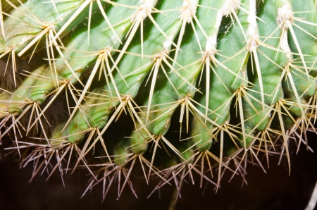 Macro of cactus texture, Thailand. Stock Photo - 16748491
