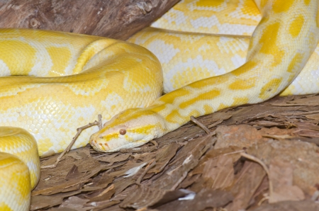 Close up of Golden Thai Python snake, Thailand. photo