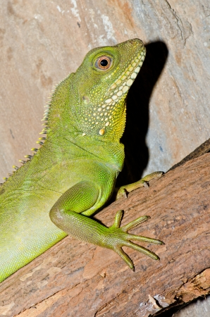 Close up of Green Water Dragon or Physignathus cocincinus, Thailand. photo