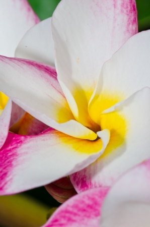 Close-up inside of beautiful white and pink plumeria, Thailand. photo