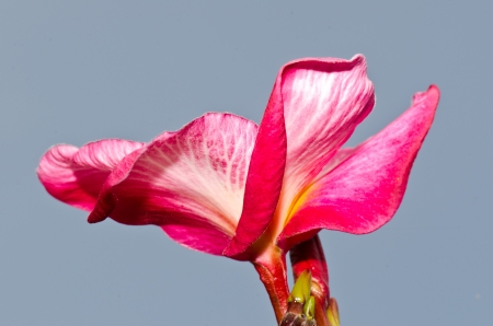 White and pink plumeria with blue sky, Thailand. photo