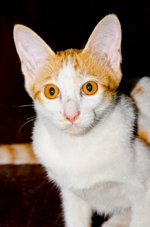 Portrait of Thai cat, Thailand. photo
