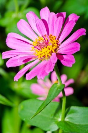 Close up of pink zinnia flower, Thailand. photo