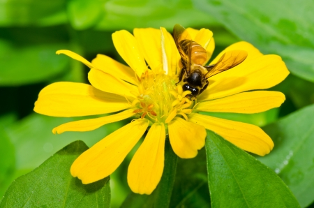 Close up of yellow zinnia flower and bee, Thailand. photo