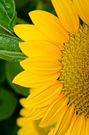 Close up of yellow sun flower, Thailand. Stock Photo - 16787088