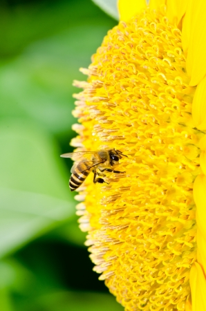 Close up of yellow sun flower and bee, Thailand. Stock Photo - 16787451