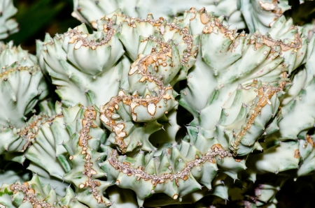 Close up of Euphorbia lactea Haw. cactus, Thailand. photo