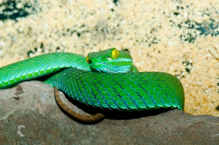Close up of Big-eyed Pitviper or Cryptelytrops macrops, Thailand. photo