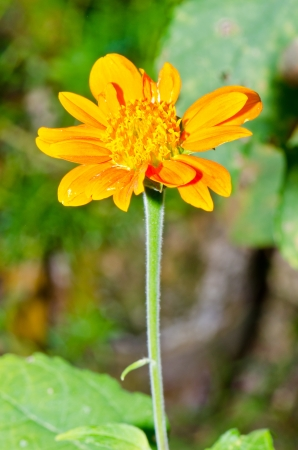 Yellow Zinnia flower in garden, Thailand. photo
