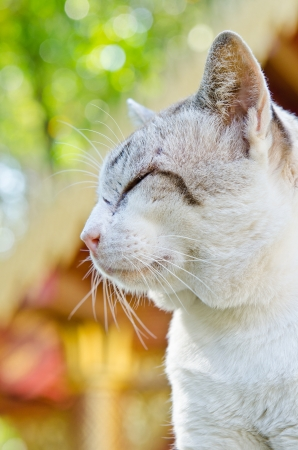 Portrait of Thai white cat, Thailand. photo