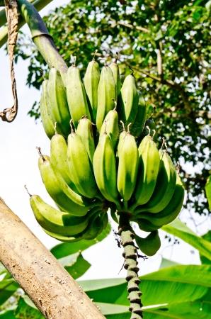 Nom Mi bananas on tree, Thailand. Stock Photo - 17142718