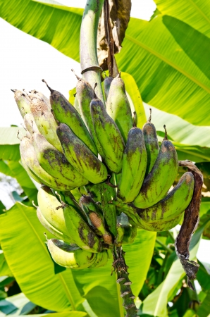 Nom Mi bananas on tree, Thailand. Stock Photo - 17142636