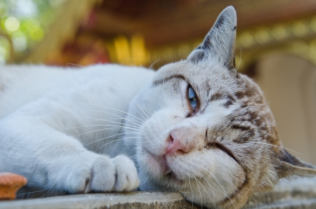 Portrait of Thai white cat, Thailand. Stock Photo - 17249819