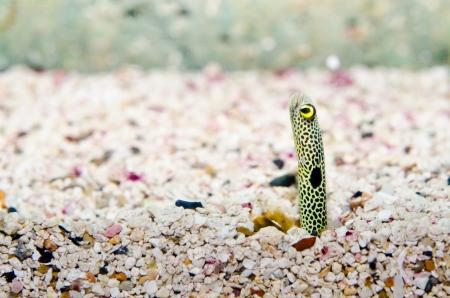 muck: Garden eel or Spotted garden eel, Thailand. Stock Photo