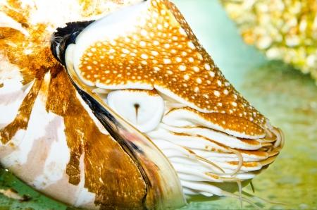 Close up of Nautilus, Thailand. Stock Photo - 17325478