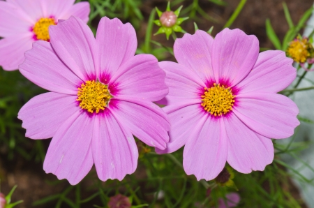 Pink cosmos flower on green background, Thailand. photo