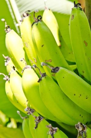 FHIA 03 plátanos en árbol, Tailandia. Foto de archivo - 17506923
