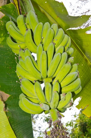Nang Phaya bananas on tree, Thailand. photo