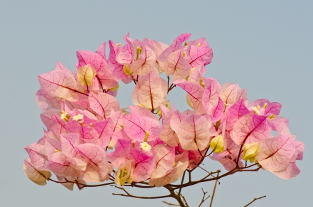 Close up of pink bougainvillea flower , Thailand. photo