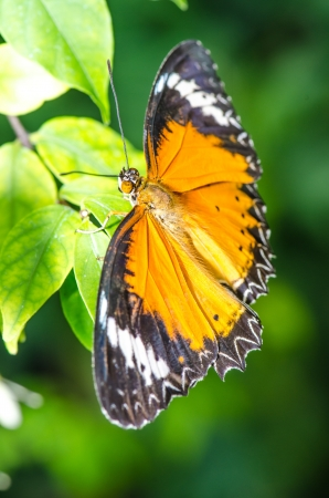 Yellow butterfly in nature, Thailand photo