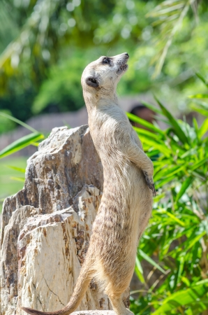 A meerkat on stone, Thailand. photo
