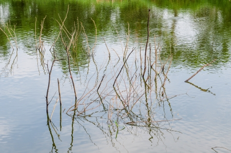 Dry branch in water, Thailand  photo
