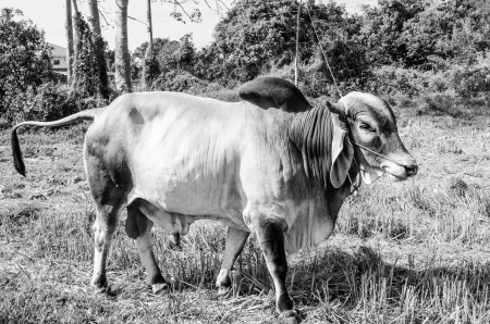 Portrait of cow in field, Thailand  photo