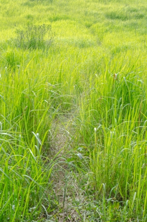 Walk way with green field in the country, Thailand. photo